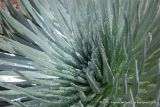 Silverswords...very highly protected and native to Haleakala