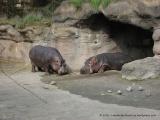 Sleepy Hippos